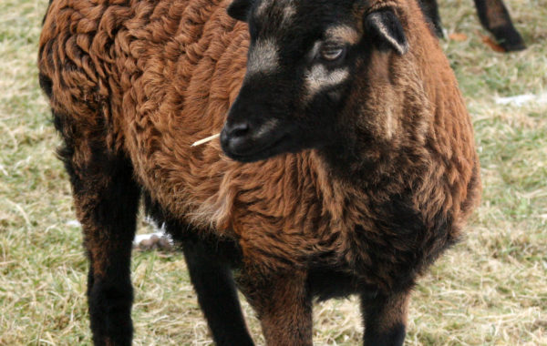 Kamerunské ovce